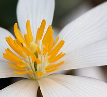 Bloodroot (Sanguinaria Canadensis) by Tim Devine