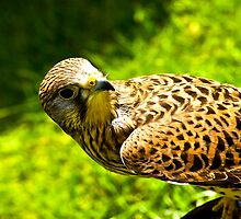 Kestral by Trevor Kersley