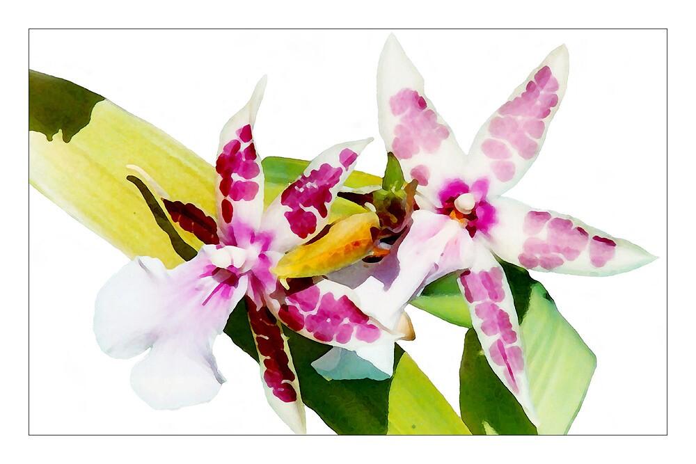 Orchid #1 - Cambria - Postcard by Michelle Bush
