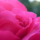 Pink Rose by HBpencil