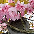 Cherry Blossoms at Byodoin by nekineko