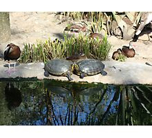 Two Turtles Photographic Print