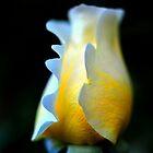 Rose by jimmylu