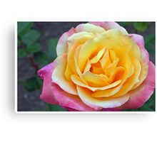 Orange and Pink Rose Canvas Print