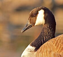 Portrait of a Canada Goose by Jessica Dzupina