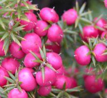 Pink Mountain Berries, Cradle Mountain, Tasmania, Australia. Sticker