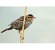 Female Redwing Blackbird on Reed Photographic Print