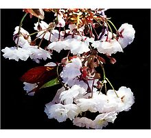 Weeping Cherry - Postcard by Michelle Bush