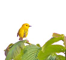 Yellow Warbler by Jessica Dzupina