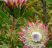 Protea  by Mowny