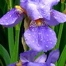 Blue iris by Maria1606