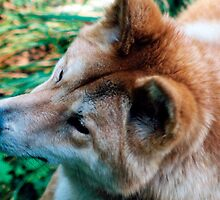 """Australian Dingo"" by Michelle Lee Willsmore"
