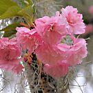 Kwanzan Cherry by ©Dawne M. Dunton