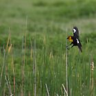 Yellow Headed Blackbird Landing by Belle Farley