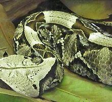 Gaboon viper by draco183