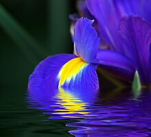 Splash of Iris by Terri~Lynn Bealle
