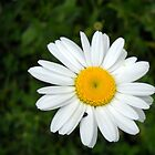 Wild Daisy at Cowan Lake by Debbie Meyers