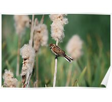 Female Reed Bunting Poster