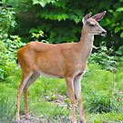Black-tailed deer by RichImage