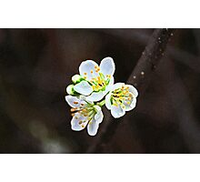 Painted Blossoms Photographic Print
