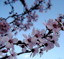 Boulder Cherry Blossoms by unclebb