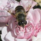 Bee catching the sun's ray's on a mauve miniature rose. by suzannenz