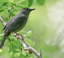 Gray Catbird - Hamilton, Ontario by Michael Cummings