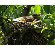 Robins of Spring Photographic Print