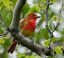 Summer Tanager by Nancy Barrett