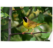 Common YellowThroat Warbler 9 Poster