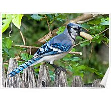 groucho the bluejay Poster