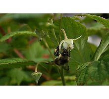 Bee On The Rasberry Flower Photographic Print