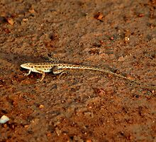 Military Dragon (Ctenophorus isolepis), Tanami Desert, Central Australia by sahoaction
