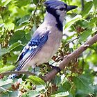 bluejay by marianne troia