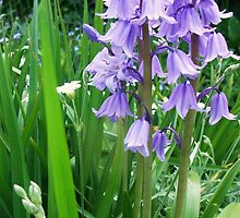 Synchronised Swaying Bluebells by MichelleRees