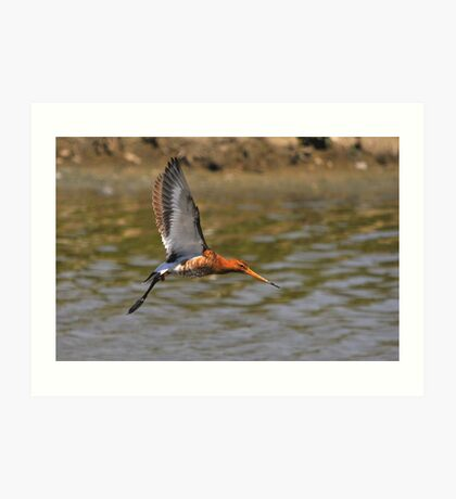 black tailed godwit flying by Art Print