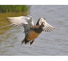 gadwall  I know you're looking Photographic Print