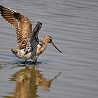 bar tailed godwit by Grandalf