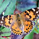 The Painted Lady by ©Dawne M. Dunton