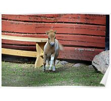 Miniature horse foal #1 Poster