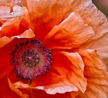 orange poppy by Robyn Bohlen
