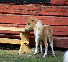 Miniature horse foal #2 by MarianaEwa