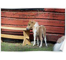 Miniature horse foal #2 Poster