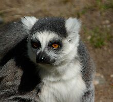Ring-tailed Lemur #1 by MarianaEwa