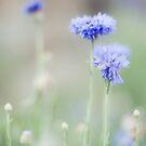 cornflower by etoile