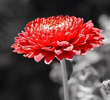 red flower by Janis Read-Walters