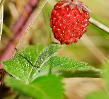 Wild strawberry by igorsin