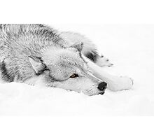 Wolf Laying in Snow Photographic Print