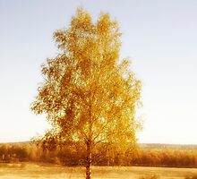 Single birch tree by igorsin