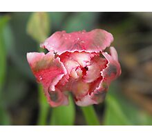 Kiss Of The Tulip Photographic Print